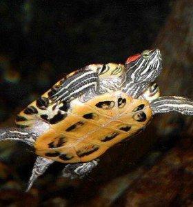 черепаха 2 шт