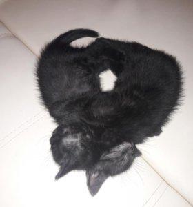 Котики британской породы