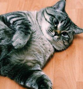 Кот шотландец