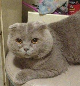 БЕСПЛАТНЫЙ найденыш.Шотландский кот вислоухий.