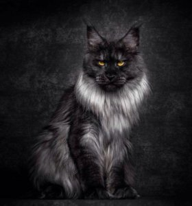 Кот вязка Мейн кун цена договорная