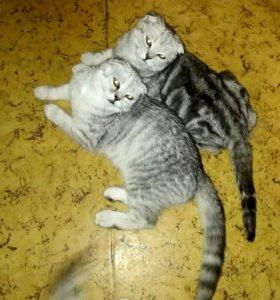 Шотландские вислоухие котята родились 02.08.2018.
