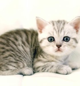 Котенок шотландец прямоухий мальчик