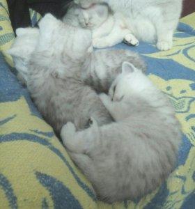Котятки скоттиш страйт