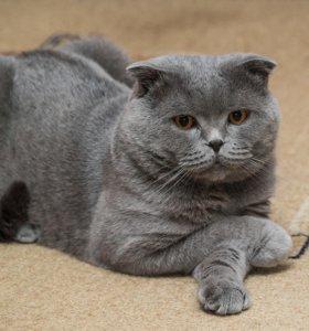 Шотландский кот - вязка.