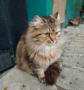 Котёнок от вислоухий мамы