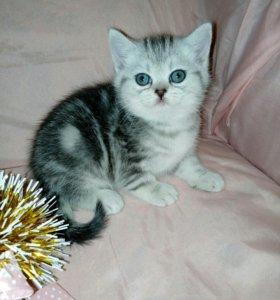 Мраморные шотландские котятки