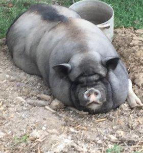 Продам двух вьетнамских свиней