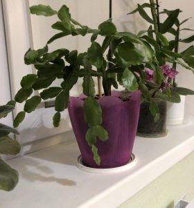 Цветок Декабрист вместе с горшком