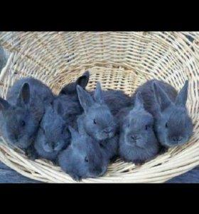 Крольчата крупные Великаны,Фландры,венские голубые