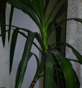 Отростки растений юкка и фикус