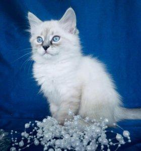 Невские маскарадные котята Рождественский подарок