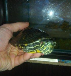Красноухая черепаха с аквариумом.