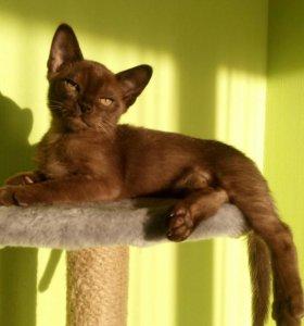 Бурманский котик Baron😍
