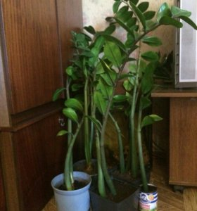 Продам доларовое дерево