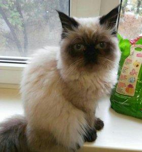 Гемолайский кот