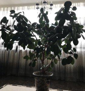 Дерево Фикус