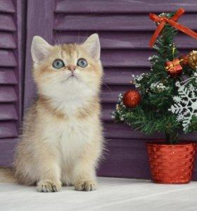 Котик золотая тикированная шиншилла