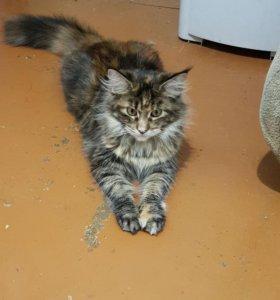 Кошка мейкун