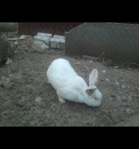 Продам кролика или поменяю на равноценного