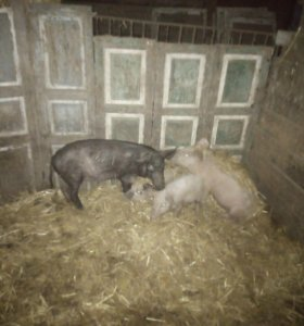 2 свиньи