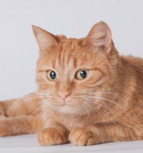 Ласковая ярко-рыжая кошка Рокси