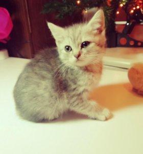 Кошечка Британской кошки