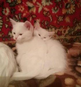 Котик и кошечка с голубыми глазками 2 месяца