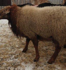 помеси Эдильбаевских и Алтайских овец