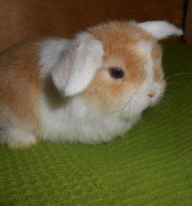 Рыжий белоухий крольчонок