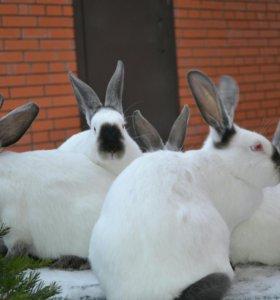 Кролики на племя.Мясо кролика.