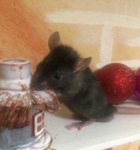 Крысята чёрные дамбо