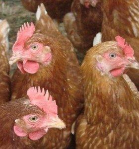 Курица Кубанская красная