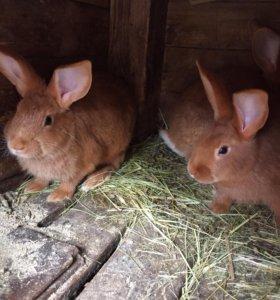 Крольчата новозеландцы