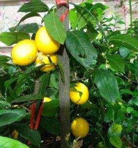 Лимоны комнатные