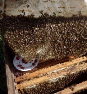 Пчелопакеты опт.