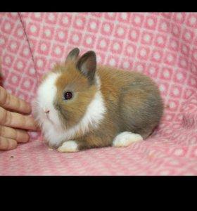 Миниатюрный кролик привит