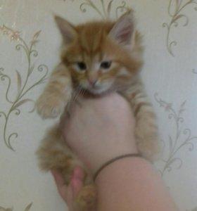 Котята мейн-кун метис