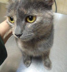 Молодая кошка мраморного окраса в дар