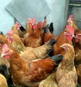 Инкубационное яйцо, цыплята кучинская юбилейная