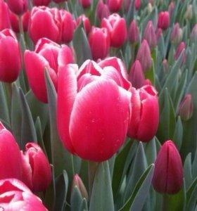 Тюльпаны Крупные