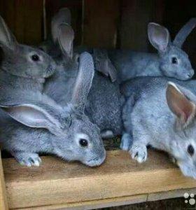 #Кролик советская шиншилла