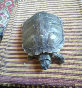 Черепаха в добрые руки