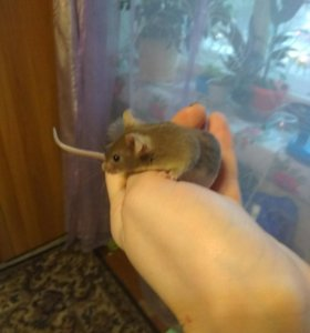 Отдам мышек самцов