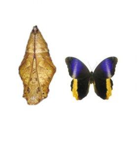 Куколки живой тропической бабочки Caligo Atreus