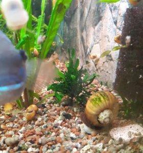 Улитка аквариумная желтой ампулярии