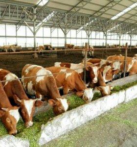 Бычки с фермы