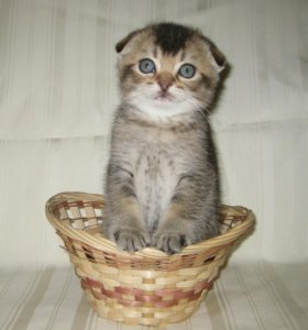 Чистокровные шотландские котята