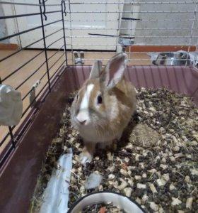 Нидерландский карликовый кролик.
