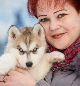 Сибирские хаски